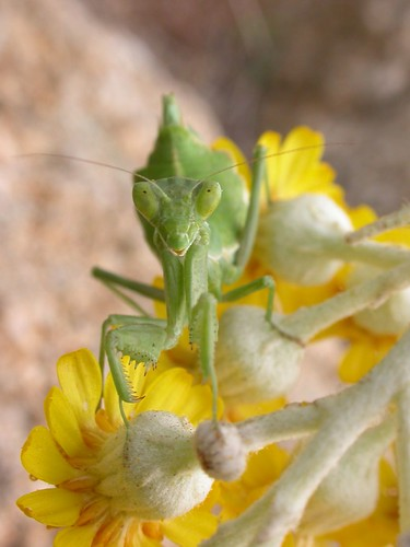 Praying mantis by fmorgen