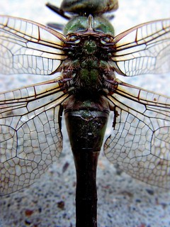 Dead Dragon fly