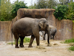 animal, indian elephant, elephant, zoo, elephants and mammoths, fauna, safari, wildlife,