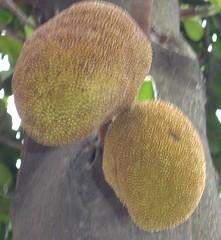 yellow, flora, artocarpus, jackfruit,