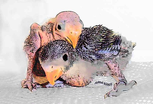 c Moustache Parakeet Babies | nybird(Karen) | Flickr