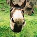Donkey in Armenia / Esel in Armenien by randbild