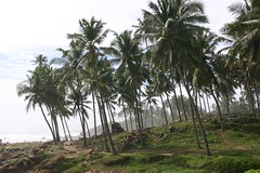 arecales, coconut, palm family, tree, plant, elaeis, vegetation,