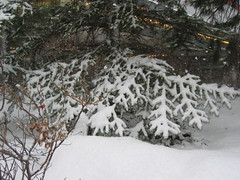 branch, winter, snow, rain and snow mixed, winter storm, blizzard, freezing, spruce,