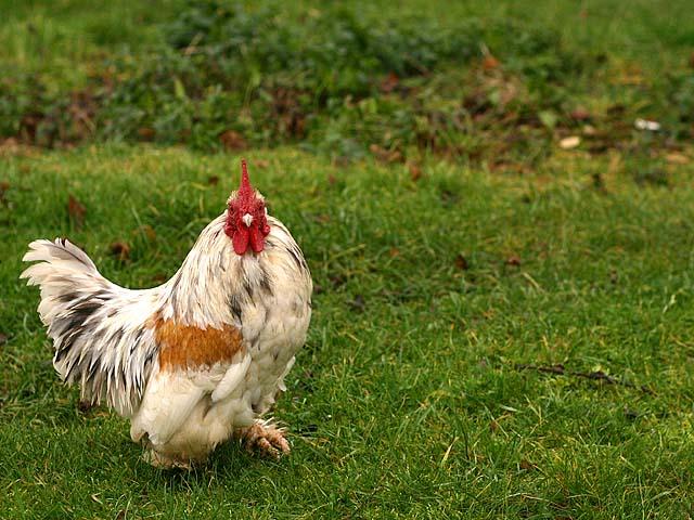 Wiltshire Chicken