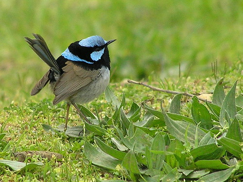 superb fairywren (breeding male)