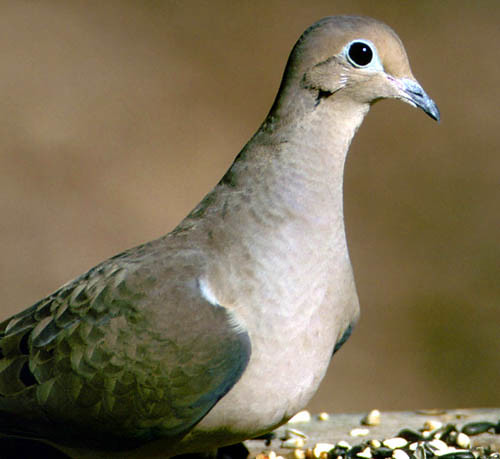 photo of a mourning dove