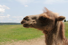 llama(0.0), mustang horse(0.0), arabian camel(0.0), animal(1.0), mammal(1.0), fauna(1.0), camel(1.0), pasture(1.0), safari(1.0),