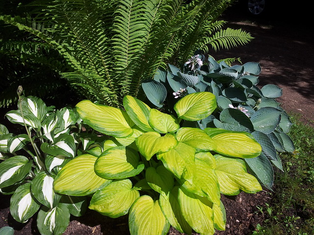 Hosta 'Stained Glass' in the middle