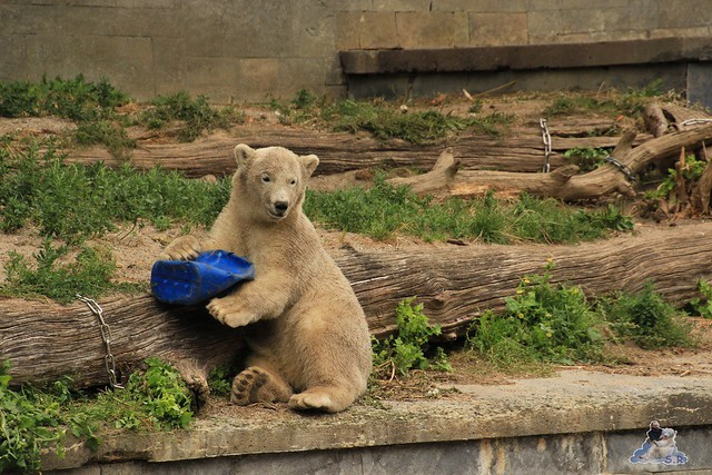 Eisbär Fiete im Zoo Rostock 12.07.2015 050