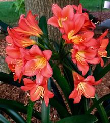 crocosmia(0.0), amaryllis belladonna(1.0), flower(1.0), plant(1.0), gladiolus(1.0), hippeastrum(1.0),