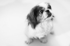 animal, puppy, dog, white, pet, mammal, japanese chin, monochrome photography, close-up, shih tzu, monochrome, black-and-white, black,