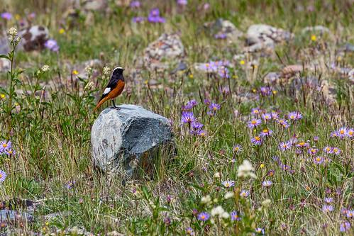 Daurian Redstart, Altai