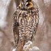 Long-eared Owl by nature55