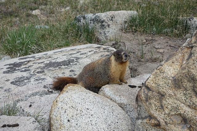Cheeky marmot, m786