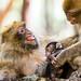 """Macaque berbère de l'Atlas ou """"Magot"""" by Azeddine ALAMI"""