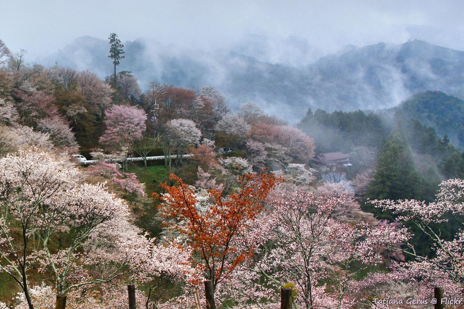 Misty yoshino yama flickr photo sharing - Romanian cherry tree varieties ...