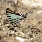 Sa, 27.06.15 - 12:41 - Leichenfledderer: Schmetterlinge ernähren sich von Geier-Leiche