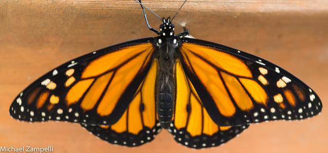 Monarchs-043