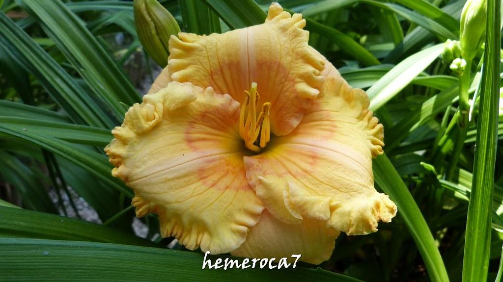 Hybrides 2015 chez hemeroca7 20013131458_eed984826c_b