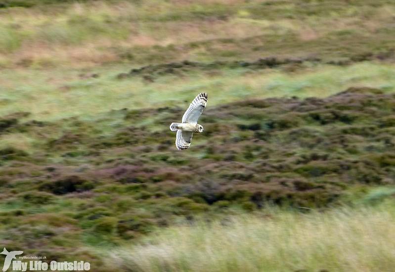 P1150043 - Short Eared Owl, Ilkley Moor