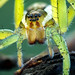 Juvenile Raft Spider by johnhallmen