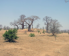 Landscape with baobabs