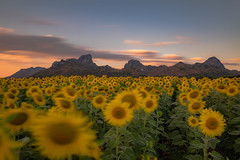 Jeen Lae mountain and Sunflower Field