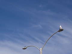 Seagull Roosting on a Light