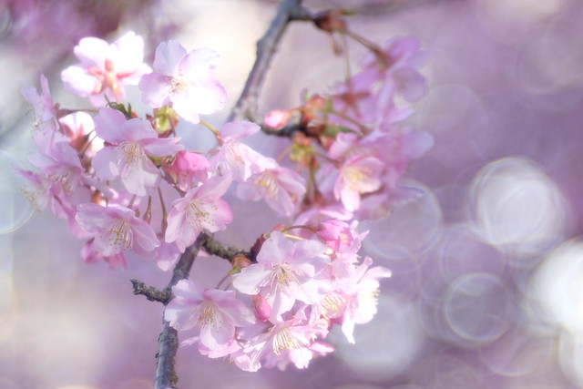 Early spring  -  桜
