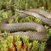 Masters' Snake (Drysdalia mastersii) by Jules Farquhar.