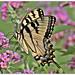 Swallowtail on Butterfly Bush by Happy Shuttering