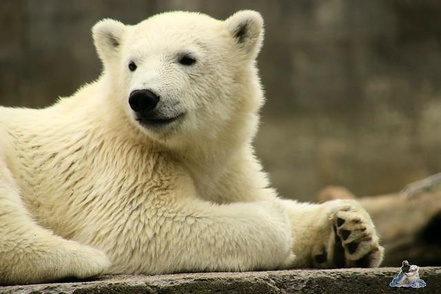Eisbär Fiete im Zoo Rostock 11.07.2015  0115