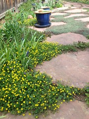 Potentilla nana (yellow flowers) and Woolly Thyme groundcovers in flagstone patio