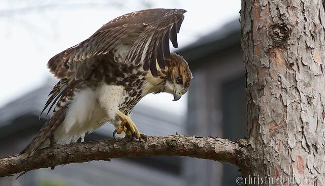 F-troop Red-tailed Hawk fledgling (July 2015)