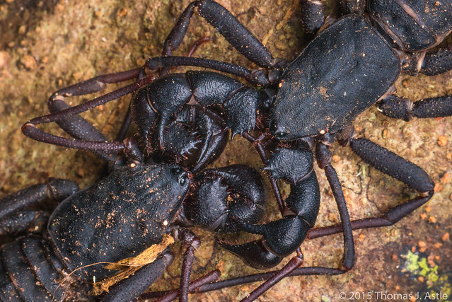 Whip scorpions (Thelyphonida)