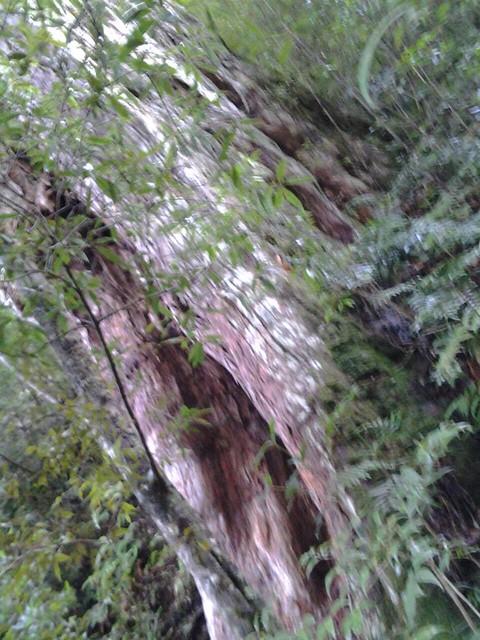 16069拉拉山巨木群