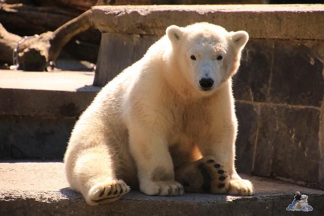 Eisbär Fiete im Zoo Rostock 018