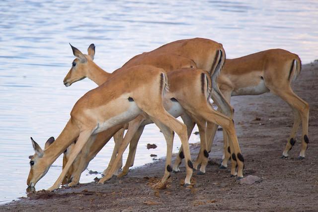 Impala at the water