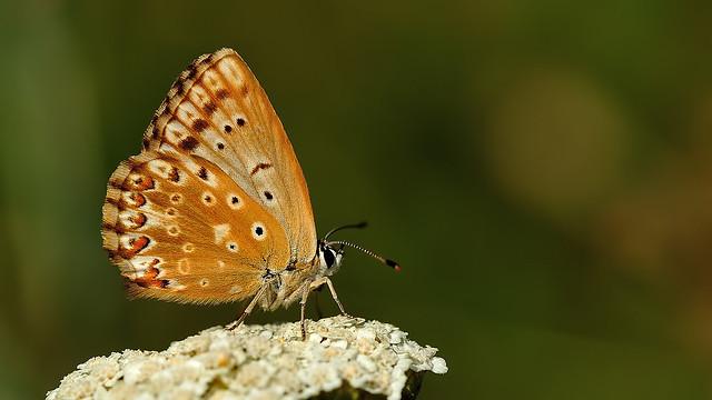Polyommatus coridon ♀