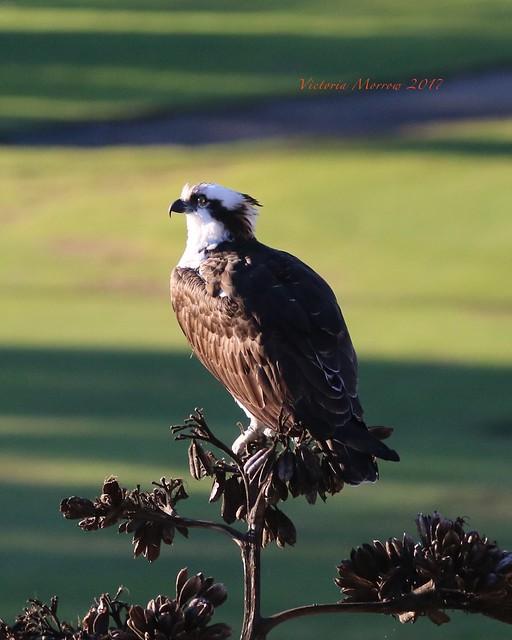 Osprey surveys the scene
