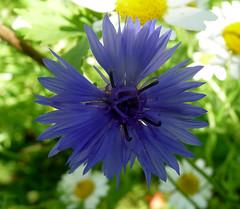 Cornflower. Centaurea cyanus