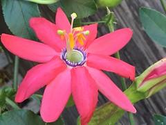 Santa Cruz passion flower