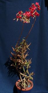 Kalanchoe 'Kewensis' 19007647206_5a809c9643_n