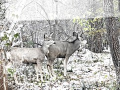 animal, deer, fauna, white-tailed deer, musk deer, wildlife,