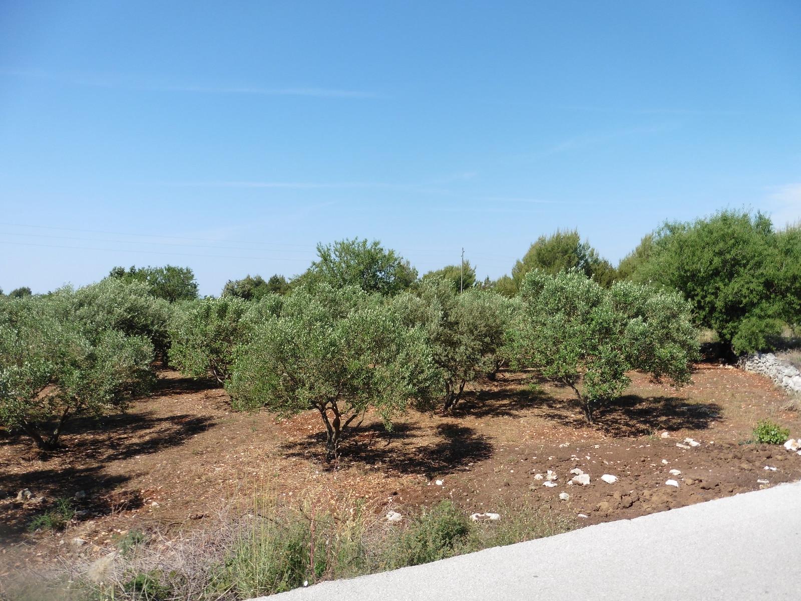 Olivenhain Hvar