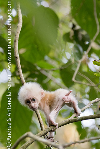 reefwondersdotnet posted a photo:	Baby Stump-tailed macaque Macaca arctoides, Hoollongapar Gibbon Wildlife Sanctuary (GWS),  Assam, North-eastern India