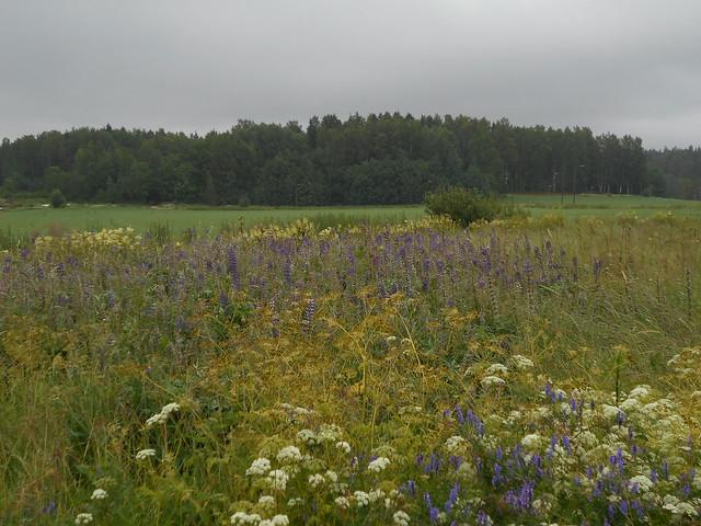 Niittykasveja 8.7.2015 C Espoon Karakallion ja Leppävaaran välinen peltoalue