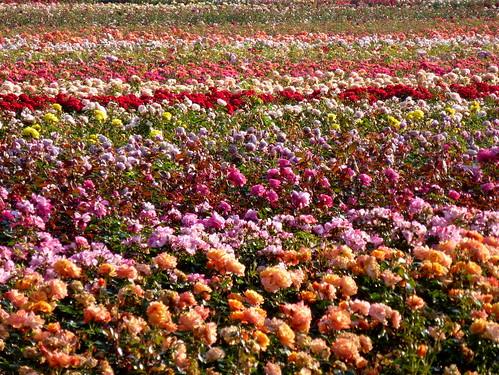 flower rose colored blume rosenfeld bunt scent duft kreispinneberg