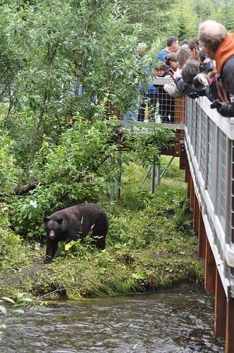 A bear looking for salmon at Steep Creek near Mendenhall Glacier in Alaska